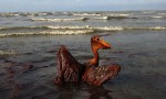 A brown pelican coated in heavy oil wallows in the Louisiana surf, June 2010. Photograph: Win Mcnamee