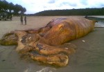 The eighth dead whale to wash ashore in the Western Region since late 2009. Ghana's EPA says there's no connection to oil drilling, but offers no details to back up the assertion. Photo courtesy of Friends of the Nation.