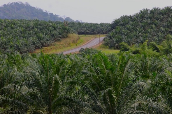 Palm plantations surrounding Limbe. Photo by Christiane Badgley