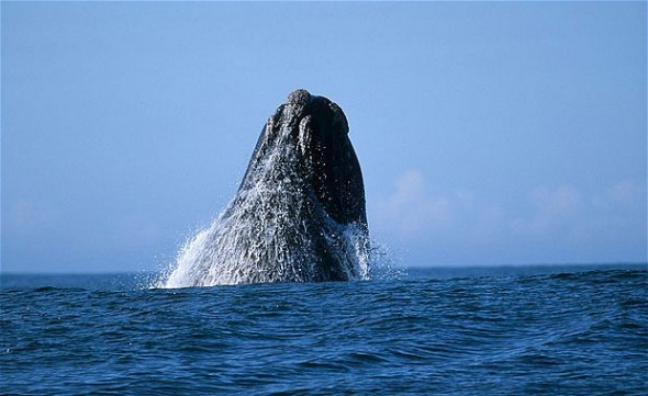 Whale off the coast of South Africa. Photo: http://www.telegraph.co.uk